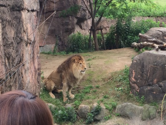 tennoji-zoo-lion